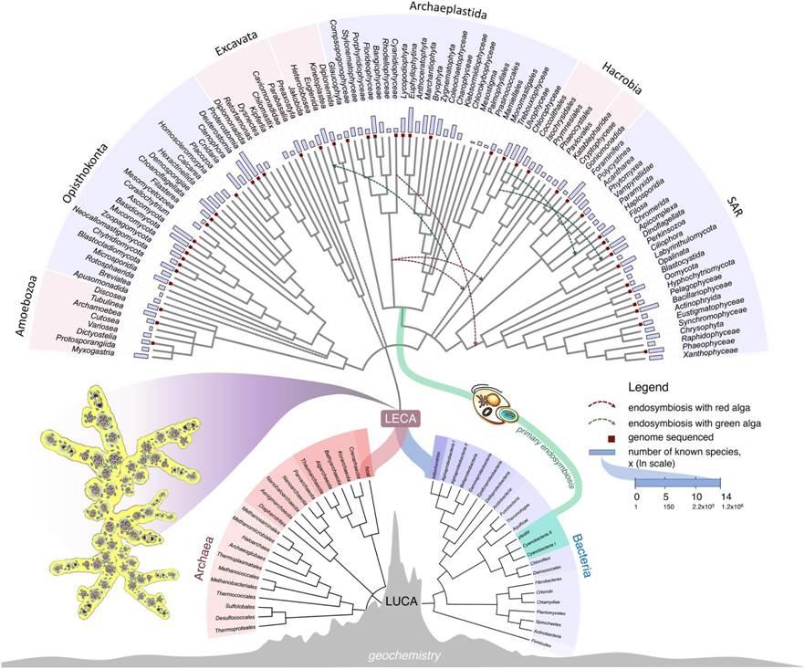 LECA (Last Eukaryotic Common Ancestor) –  višejezgreni organizam